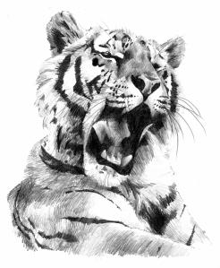 Tiger001